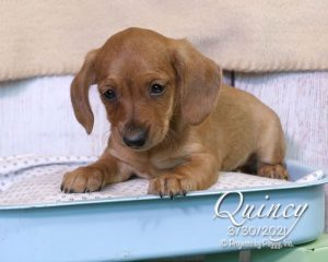 Quincy, male Dachshund puppy