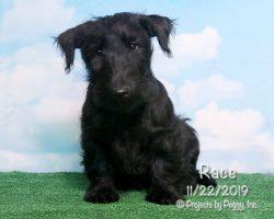 Race, male Scottish Terrier puppy