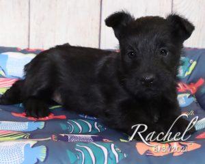 Rachel, female Scottish Terrier puppy