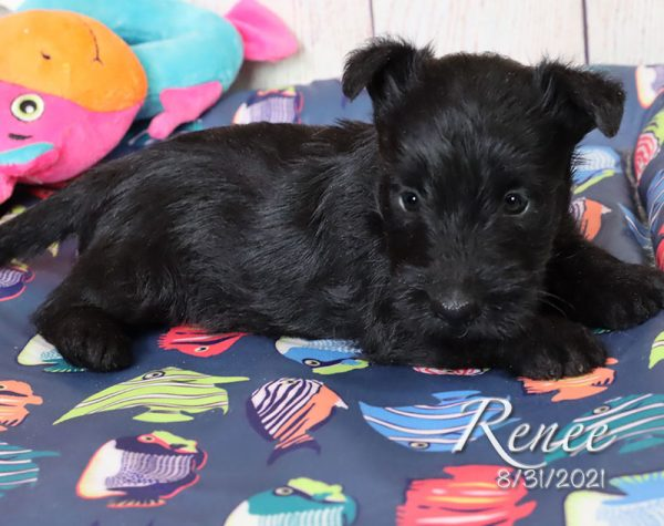 Renee, female Scottish Terrier puppy