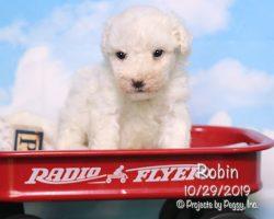 Robin, female Bichon Frise puppy