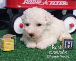 Rocky, male Bichon Frise puppy