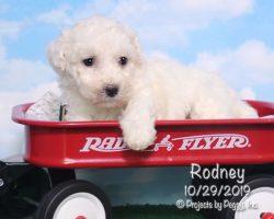 Rodney, male Bichon Frise puppy