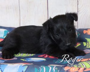 Roger, male Scottish Terrier puppy