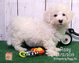 Rosy, female Bichon Frise puppy