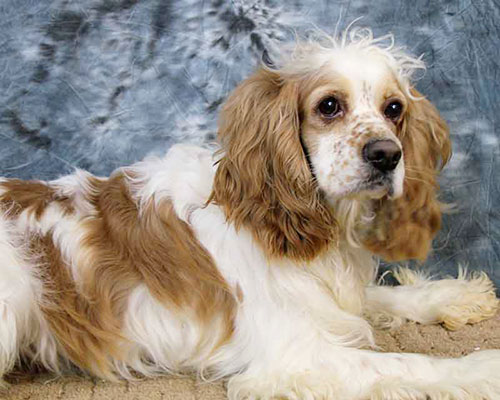 SIRE: Freckles (Cocker Spaniel) – 28#