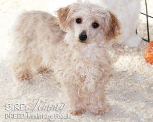 SIRE: Jimmy (Poodle)