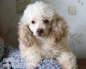 SIRE: MacIntosh (Poodle)