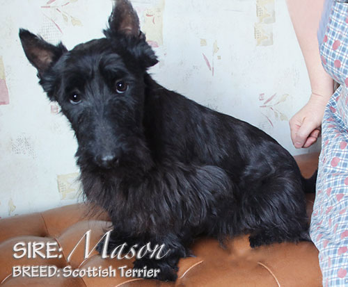 SIRE: Mason (Scottish Terrier)