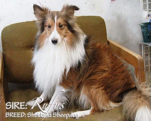 SIRE: Rufus (Shetland Sheepdog)