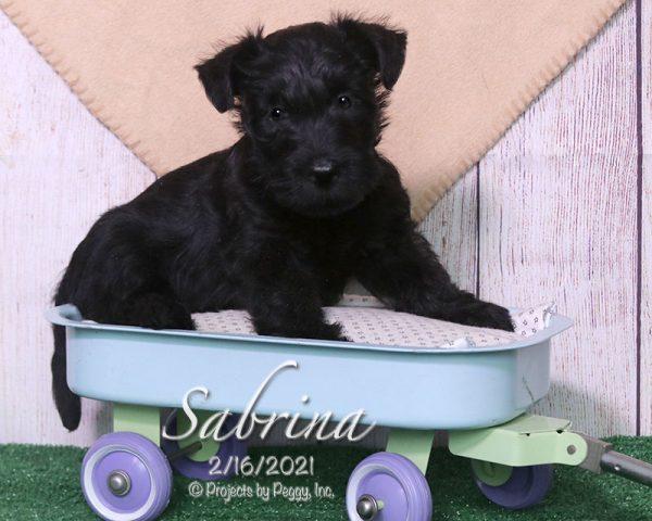 Sabrina, female Scottish Terrier puppy