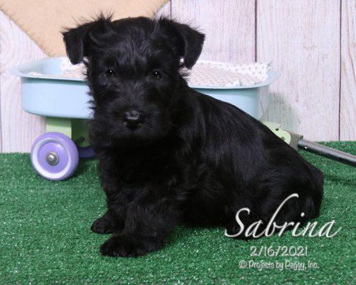 Sabrina (F) – Scottish Terrier – Sold