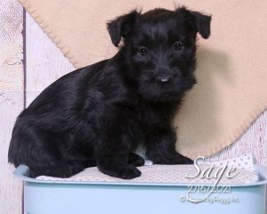Sage, female Scottish Terrier puppy