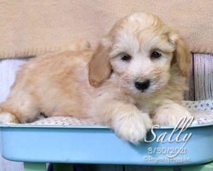 Sally, female Cotonpoo puppy