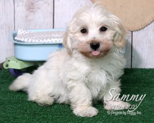 Sammy, male Havapoo puppy