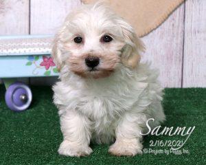 Sammy, male Havapoo puppy
