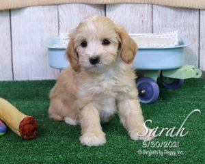 Sarah, female Cotonpoo puppy