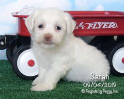 Sarah, female Havanese puppy