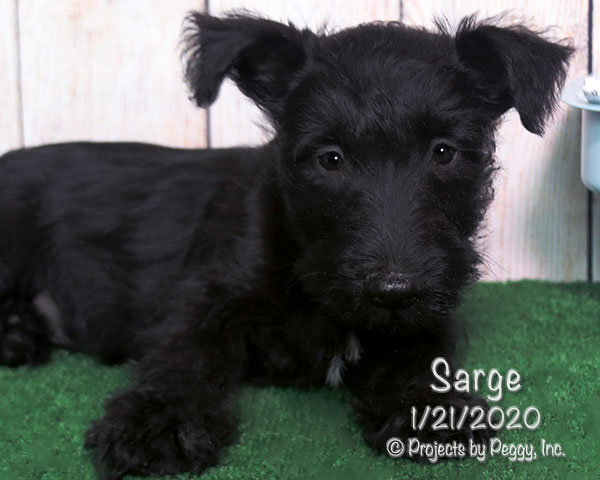 Sarge (M) – Reserved