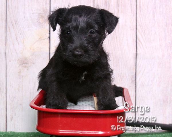 Sarge (M)