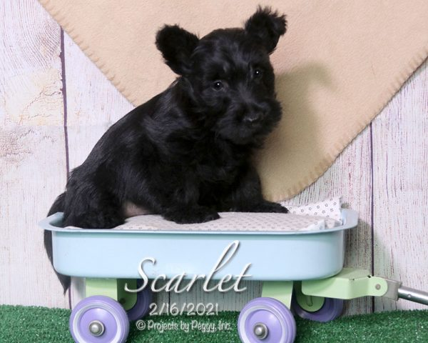 Scarlet, female Scottish Terrier puppy