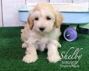 Shelby, female Cotonpoo puppy
