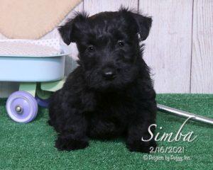 Simba, male Scottish Terrier puppy