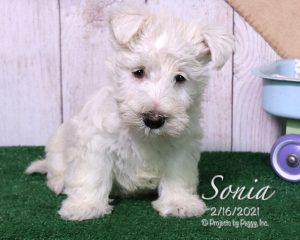 Sonia, female Scottish Terrier puppy