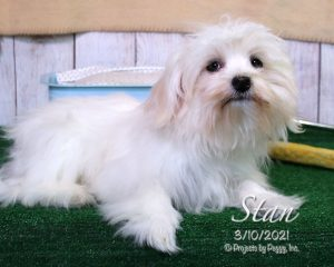Stan, male Coton de Tulear puppy