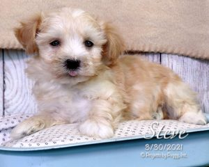 Steve, male Cotonpoo puppy