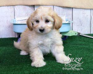 Suzy, female Cotonpoo puppy