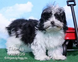 Thomas, male Shichon puppy
