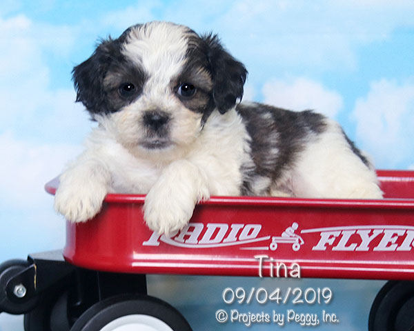 Tina, female Shichon puppy