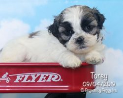 Torey, female Shichon puppy