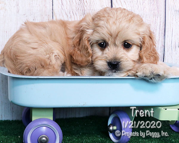 Trent, male Cavapoo puppy
