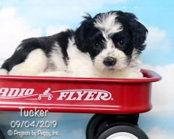 Tucker, male Shichon puppy