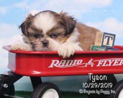 Tyson, male Shih Tzu puppy