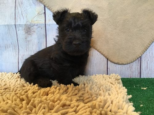 Jimmy – M-  Scottish Terrier AKC /ACA Reg Reserved