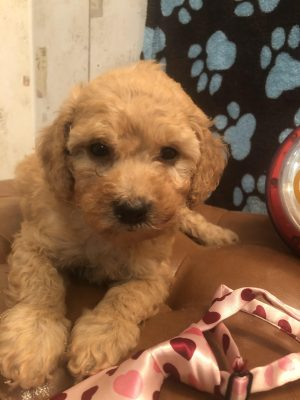 Dolly – F- Min. Poodle – ACA Reg. $1600.00 Reserved