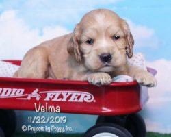 Velma, female Cocker Spaniel puppy