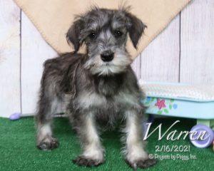Warren, male Miniature Schnauzer puppy