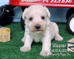 Weaver, male Miniature Schnauzer puppy