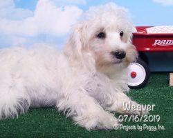 Weaver, male Miniature Schnauzer puppy