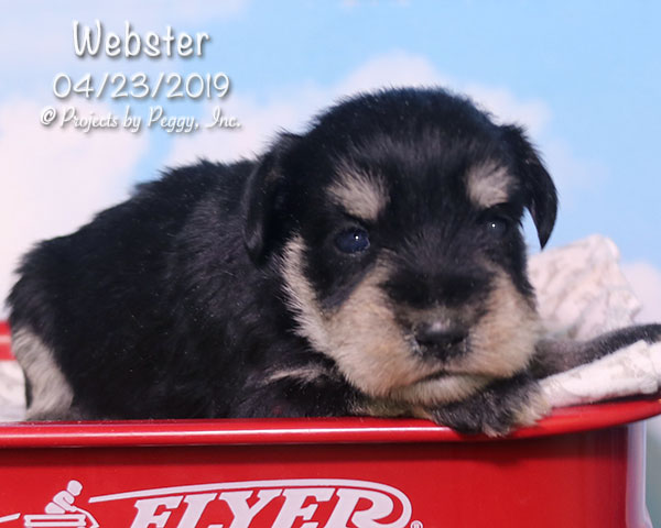 Webster (M) – Reserved