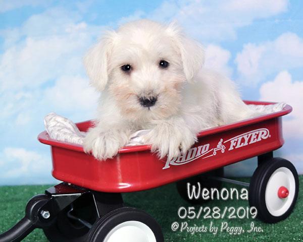Wenona, female Miniature Schnauzer puppy