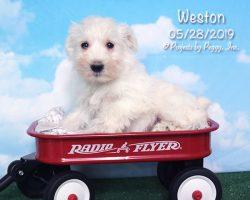 Weston, male Miniature Schnauzer puppy