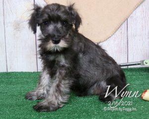 Wynn, male Miniature Schnauzer puppy