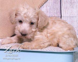 Zack, male Schnoodle puppy