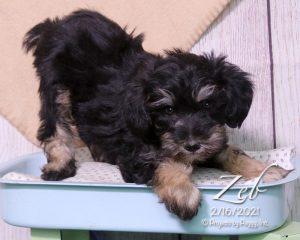 Zeb, male Schnoodle puppy