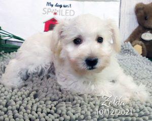 Zelda, female Schnoodle puppy